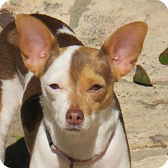 Toy Fox Terrier Dog for adoption in San Antonio, Texas - Rosie