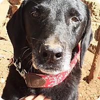 Labrador Retriever Dog for adoption in Seattle, Washington - Suzie - Perfect Gentle Girl