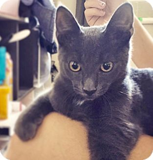 Russian Blue Kitten for adoption in Brooklyn, New York - Pugsly the Perfect Russian Blue