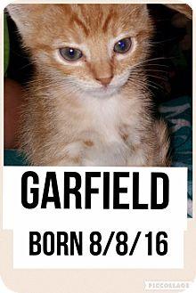 Domestic Shorthair Kitten for adoption in Garland, Texas - Garfield