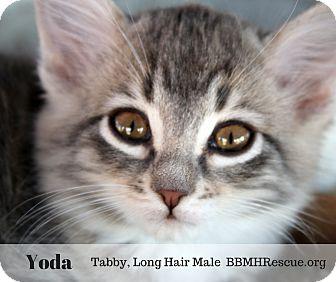 Domestic Longhair Kitten for adoption in Temecula, California - Yoda