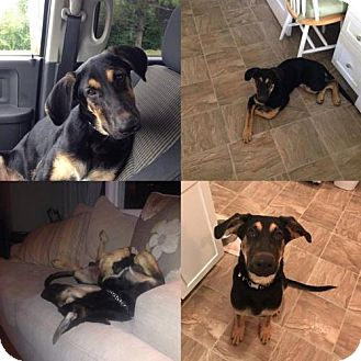 Shepherd (Unknown Type)/Beagle Mix Dog for adoption in Island Heights, New Jersey - Jasper