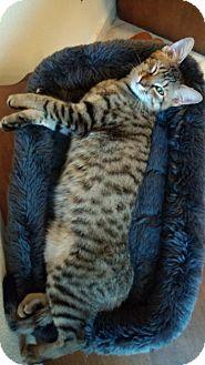 Domestic Shorthair Kitten for adoption in San Antonio, Texas - Goose