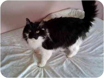 Maine Coon Cat for adoption in Howell, New Jersey - Sir York