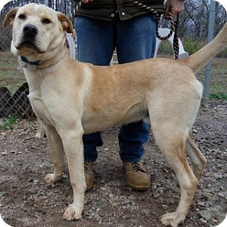 Great Pyrenees/Labrador Retriever Mix Dog for adoption in Athens, Georgia - Dude