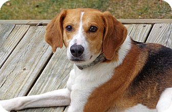 Foxhound/Beagle Mix Dog for adoption in Bedford, Virginia - Bella