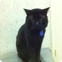 Domestic Shorthair Cat for adoption in St. James City, Florida - Bogey