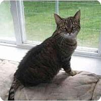 Adopt A Pet :: Misty Kitty - Hamburg, NY