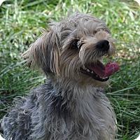 Adopt A Pet :: Munchkin - Pocahontas, AR