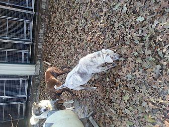 Labrador Retriever Mix Dog for adoption in Ardmore, Oklahoma - Christy