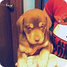 Adopt A Pet :: Shep Lab 1