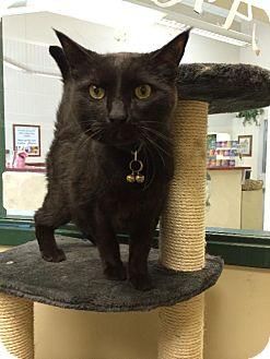 Domestic Shorthair Cat for adoption in Cincinnati, Ohio - zz 'Merlin' courtesy post