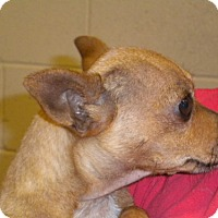 Chihuahua Mix Dog for adoption in Fresno, California - Lincoln