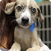 Adopt A Pet :: Ice - Alpharetta, GA