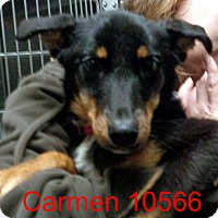 Adopt A Pet :: Carmen - baltimore, MD