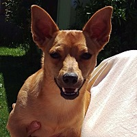 Dachshund/Chihuahua Mix Puppy for adoption in Walnut Creek, California - Donny