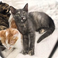 Domestic Shorthair Kitten for adoption in Studio City, California - Lap kitty Savannah