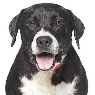 Labrador Retriever Mix Dog for adoption in Santa Monica, California - Chuck L.