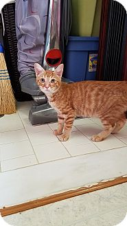 Domestic Shorthair Kitten for adoption in Hamburg, Pennsylvania - Neptune