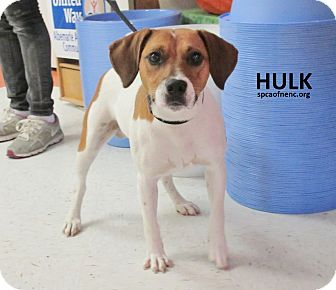 Beagle/Jack Russell Terrier Mix Dog for adoption in Elizabeth City, North Carolina - Hulk  UPDATE