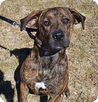 Boxer/Labrador Retriever Mix Dog for adoption in Larned, Kansas - Carly