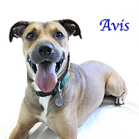 Shepherd (Unknown Type)/Hound (Unknown Type) Mix Dog for adoption in Bradenton, Florida - Avis