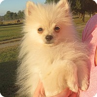 Adopt A Pet :: Andre - Salem, NH