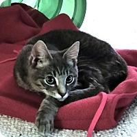 Adopt A Pet :: SMOKEY  SILVER          TABBY  KITTEN - Philadelphia, PA