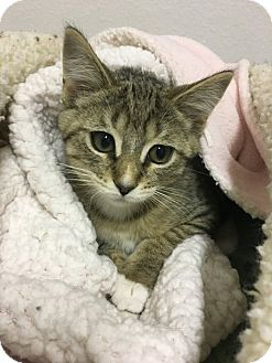 Domestic Shorthair Kitten for adoption in Toledo, Ohio - Ian