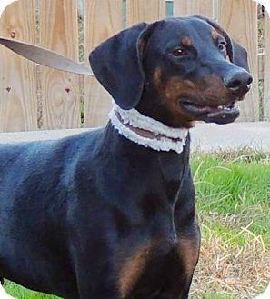 Doberman Pinscher Puppy for adoption in Joplin, Missouri - Hercules