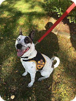Australian Cattle Dog Mix Dog for adoption in St. Charles, Illinois - Phantom