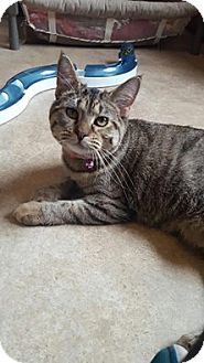 Domestic Shorthair Cat for adoption in Hanna City, Illinois - Cadillac-adoption pending