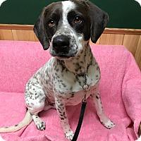 Adopt A Pet :: Boomerang - Maryville, MO