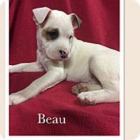 Adopt A Pet :: Beau - Smithfield, NC