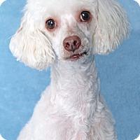 Adopt A Pet :: Biggie Smalls - Encinitas, CA