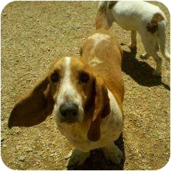 Basset Hound Dog for adoption in Acton, California - Bart