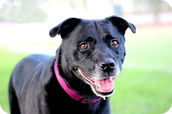 Labrador Retriever Mix Dog for adoption in Burbank, California - Java LOVES KIDS, HOUSETRAINED!