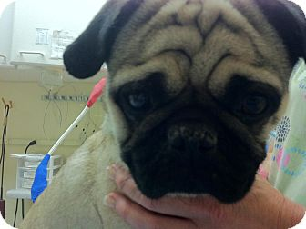 Pug Dog for adoption in Anaheim, California - Max