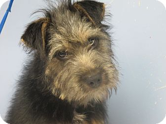 Schnauzer (Standard)/Airedale Terrier Mix Puppy for adoption in Washington, D.C. - Cricket Urgent in NE
