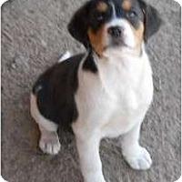Adopt A Pet :: Lillly - dewey, AZ