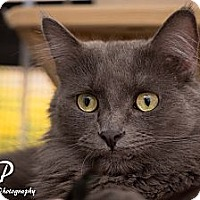 Adopt A Pet :: PEBBLES - Fountain Hills, AZ