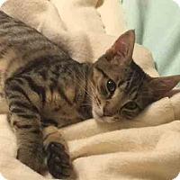 Adopt A Pet :: Hodor - Gaithersburg, MD