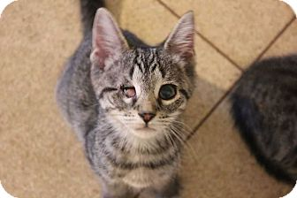 Domestic Shorthair Kitten for adoption in Central Islip, New York - Agnes