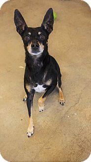 Miniature Pinscher Mix Dog for adoption in Seattle, Washington - Dobie