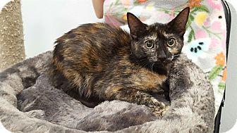 Domestic Shorthair Kitten for adoption in Pasadena, California - Mame