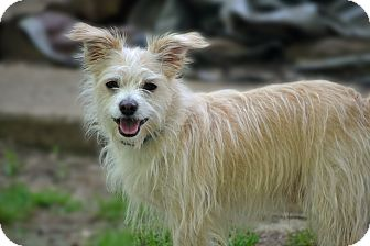 Fox Terrier (Wirehaired)/Cairn Terrier Mix Dog for adoption in Bedminster, New Jersey - Buster