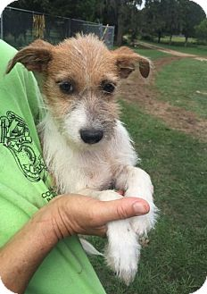 Terrier (Unknown Type, Small) Mix Dog for adoption in Cat Spring, Texas - Nelson