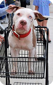 American Staffordshire Terrier Mix Dog for adoption in Madison, Alabama - Jax