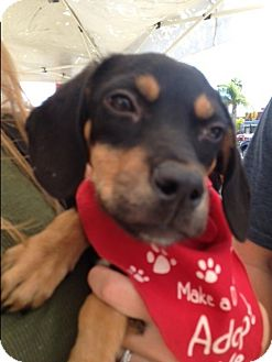 Labrador Retriever/Beagle Mix Puppy for adoption in BONITA, California - Dino