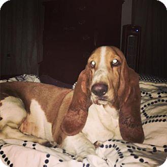 Basset Hound Dog for adoption in Grapevine, Texas - Cassandra